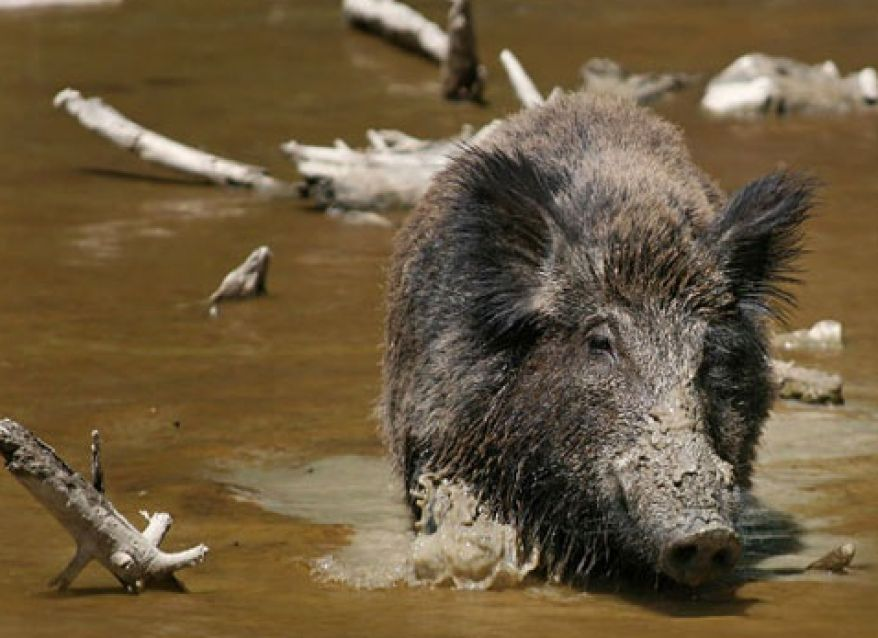 Feral Hog Mitigation Program