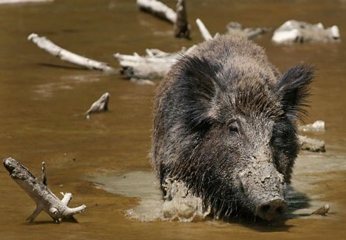 Feral Hog Mitigation Program